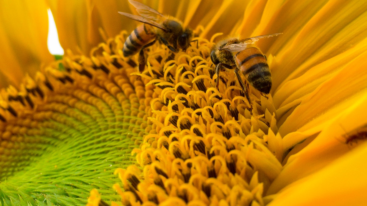 Sunflower Lecithin 8 Benefits and Side effects 1 - Daily Medicos