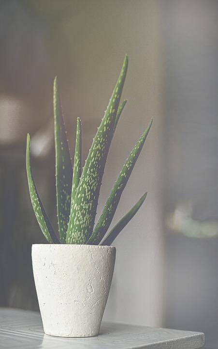Aloe vera: benefits and uses of aloe vera 6 - Daily Medicos