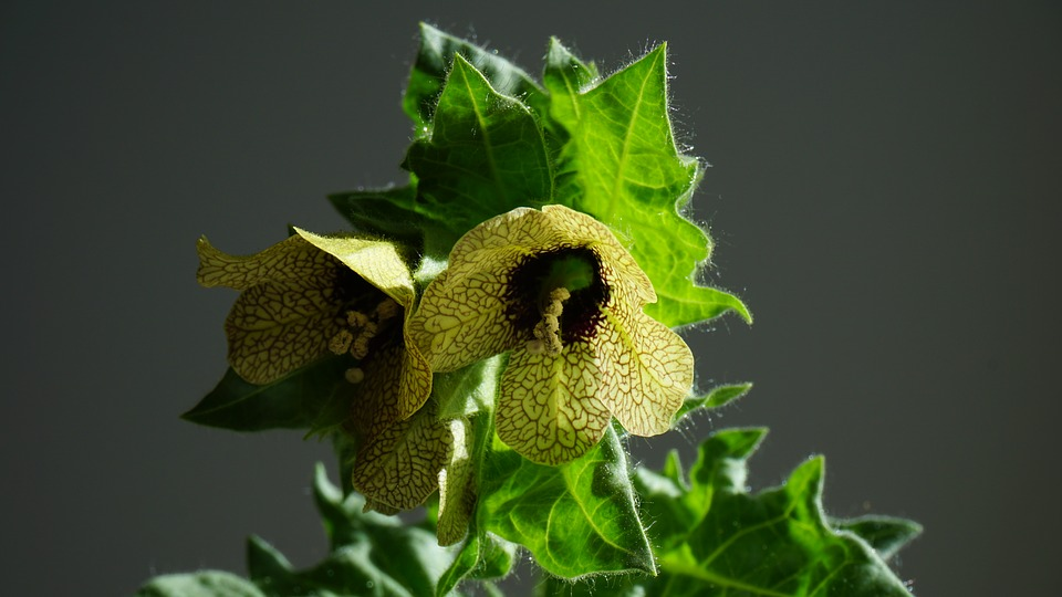 Poisonous Plants: 7 Deadly Poisonous Plants every plant Lover should know 4 - Daily Medicos