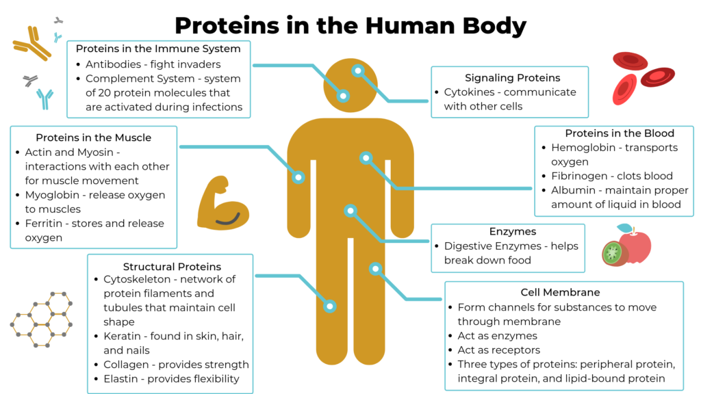 Why is protein folding important in Biology? [Detailed Guide] 3 - Daily Medicos