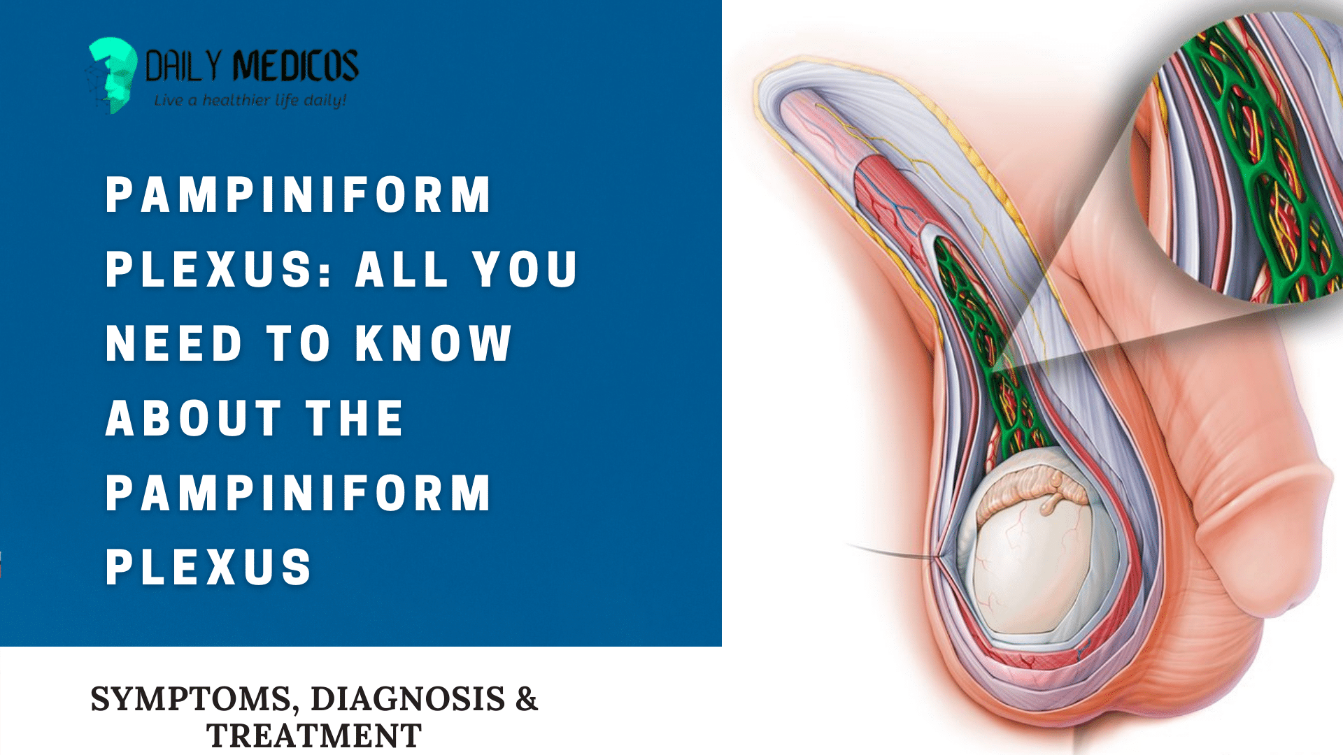 Pampiniform Plexus: All You Need to Know About The Pampiniform Plexus [Detail Guide] 1 - Daily Medicos