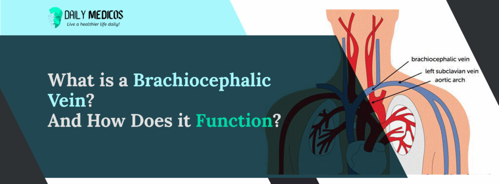 Brachiocephalic Vein: Amazing Key Points You Should Know About 2 - Daily Medicos
