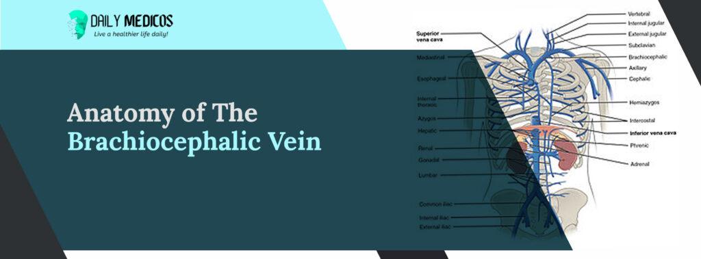 Brachiocephalic Vein: Amazing Key Points You Should Know About 3 - Daily Medicos