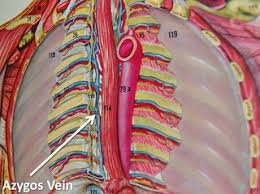 Anatomy of Azygos Vein: Easy to Understand for Medical Students 2 - Daily Medicos